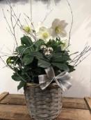 Christmas rose planted arrangement